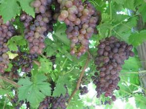 домашний виноград фото