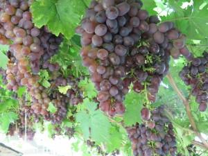 картинки винограда с листьями