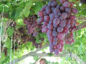 картинка гроздь винограда