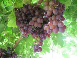 виноград картинки