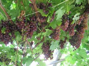 синий виноград фото