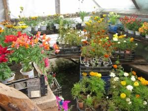 цветы рассада саженцы